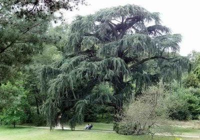 Cèdre bleu du parc de Chateaubriand à Chatenay-Malabry