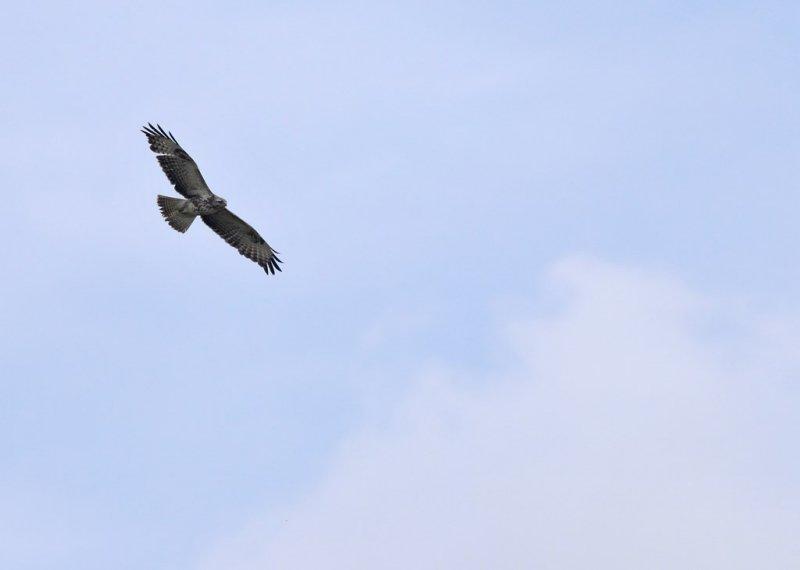Buizerd / Common Buzzard / Heerde
