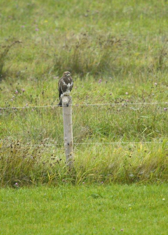 Buizerd - Common Buzzard (Biddinghuizen)