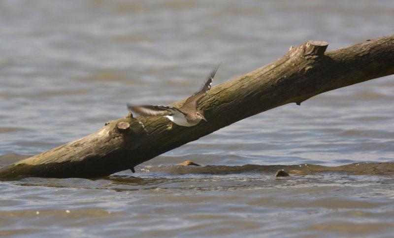 Oeverloper / Common Sandpiper (Hof van Twente)