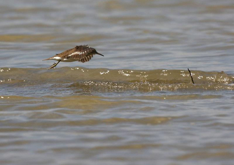 Oeverloper in de vlucht / Common Sandpiper (Hof van Twente)
