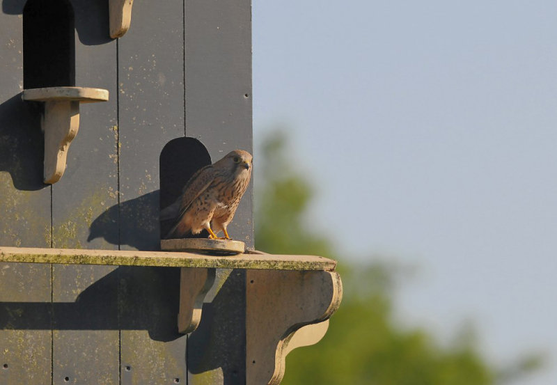 Torenvalk / Common Kestrel (Steenwijk