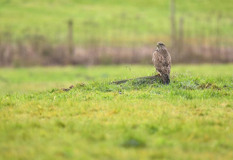 Buizerd / Common Buzzard (Winterberg)