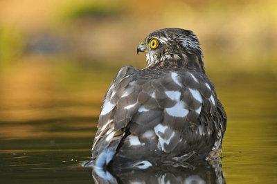 Sperwer / Eurasian Sparrowhawk (HBN-hut 3 Lemele)