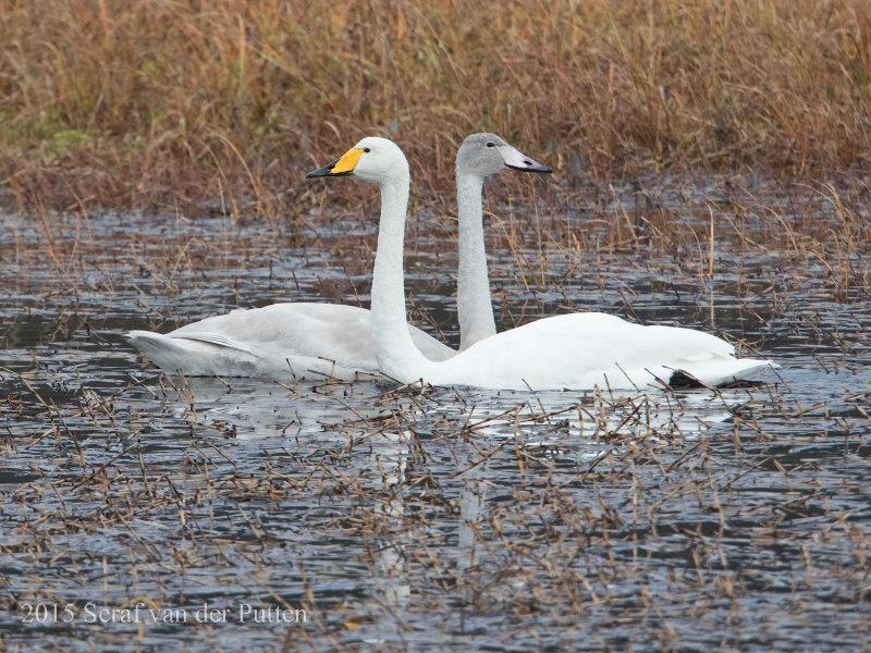 Wilde Zwaan; Whooper Swan