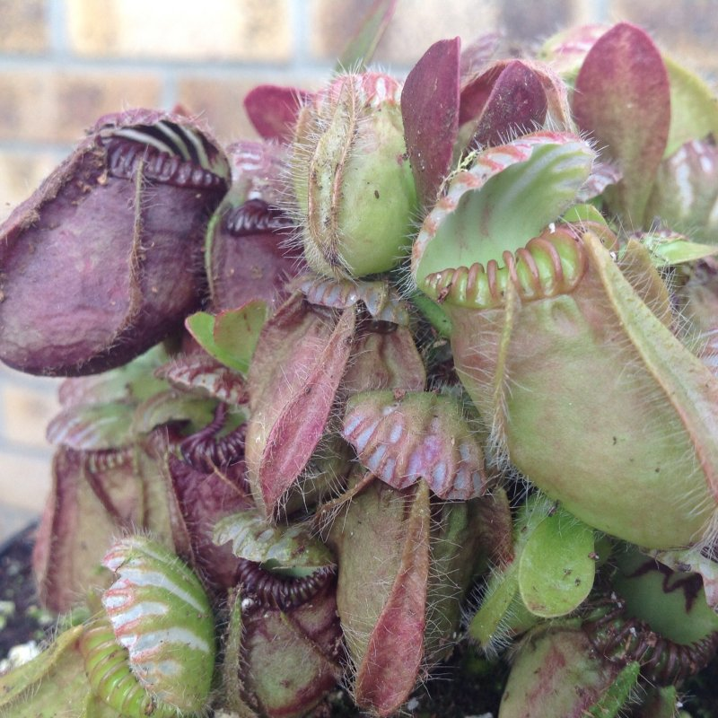 Close up Cephalotus