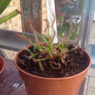 Drosera capenis Cape Sundew