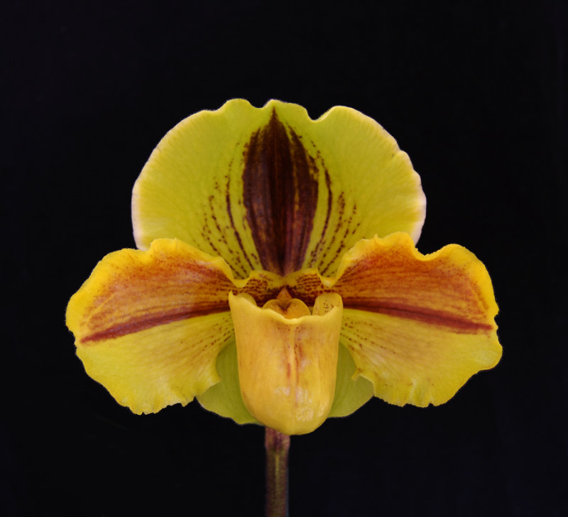 20142541  -  Paph. Lippewunder  19 WOC   HCC/AOS  (77-points)  1-11-2014