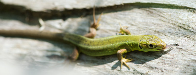 D40_2796F westelijke smaragdhagedis (Lacerta bilineata, female).jpg