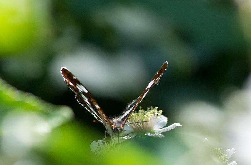 D40_3311F kleine ijsvogelvlinder (Limenitis camilla, (Eurasian) white admiral).jpg