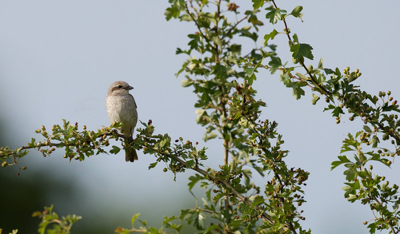 D40_3684F grauwe klauwier (Lanius collurio, Red-backed Shrike).jpg