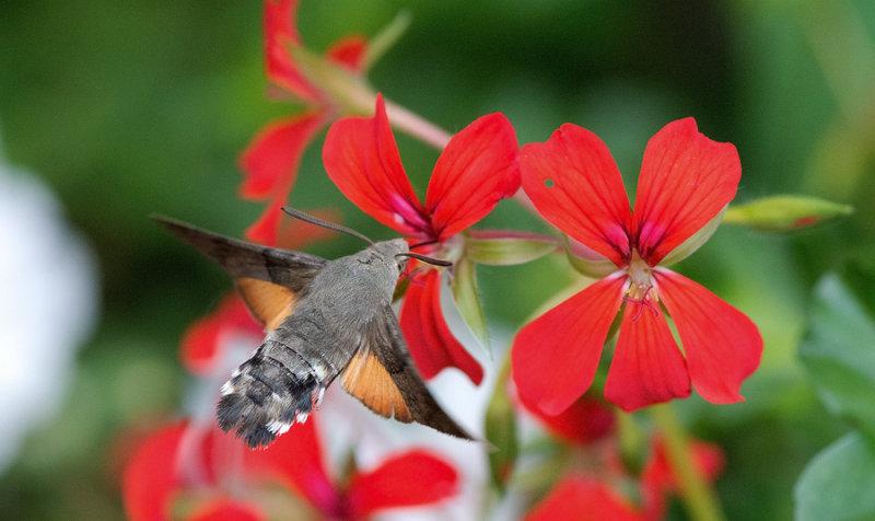 D40_5197F kolibrievlinder (Macroglossum stellatarum, Hummingbird Hawk-moth).jpg