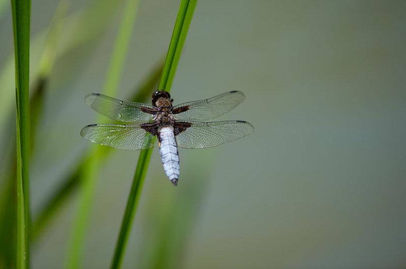D40_4868F platbuik (Libellula depressa, broad-bodied chaser or broad-bodied darter).jpg
