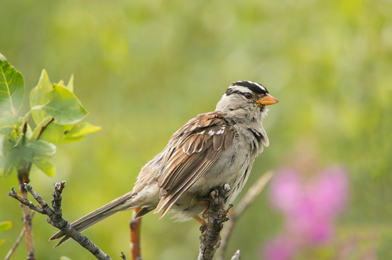 D4S_5851F witkruingors (Zonotrichia leucophrys, White-crowned sparrow).jpg