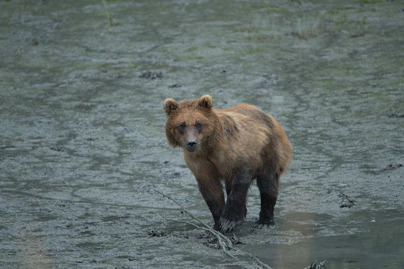 D4S_7513F grizzlybeer (Ursus arctos, Grizzly bear).jpg