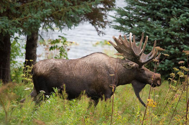 D4S_8387F eland (Alces alces, Moose).jpg