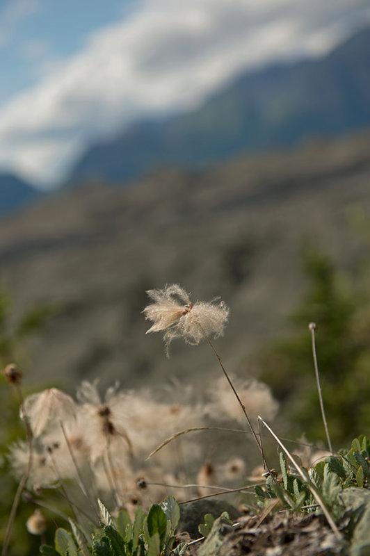 D4S_6295F wollegras (Eriophor spp., cotton grass).jpg