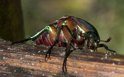 Green June Beetle (AKA fig beetle)