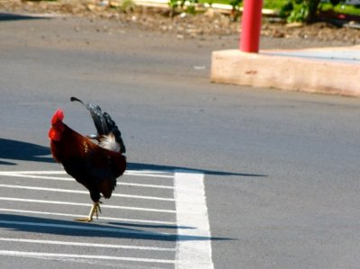 Suddenly this rooster (pimp) comes strutting towards me .... I didnt have any food for them ... so they eventually walked away