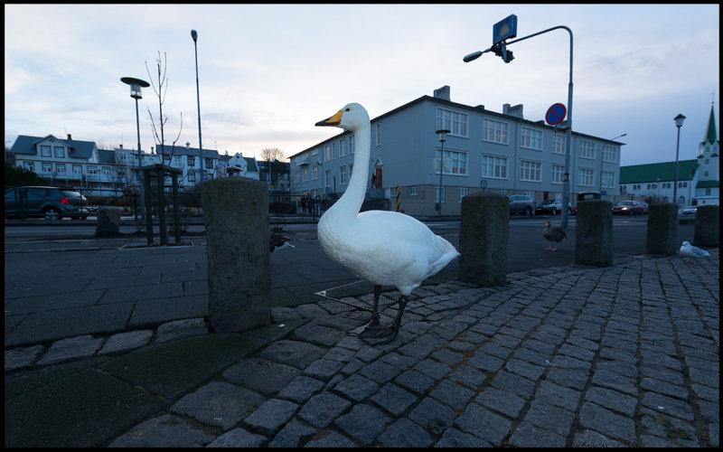 Wooper Swan pre-breakfast townwalk in Reykjavik….