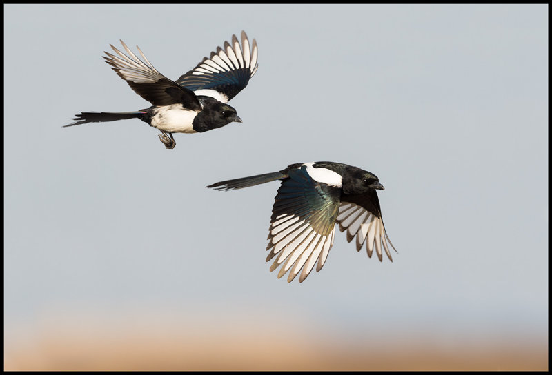 Magpies (2 pictures) - Hungary