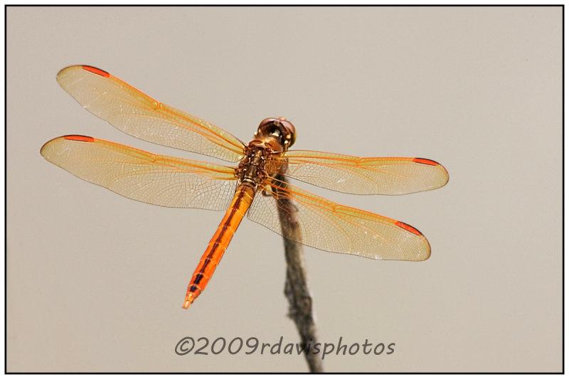 Golden-winged Skimmer Dragonfly (Libellula auripennis)