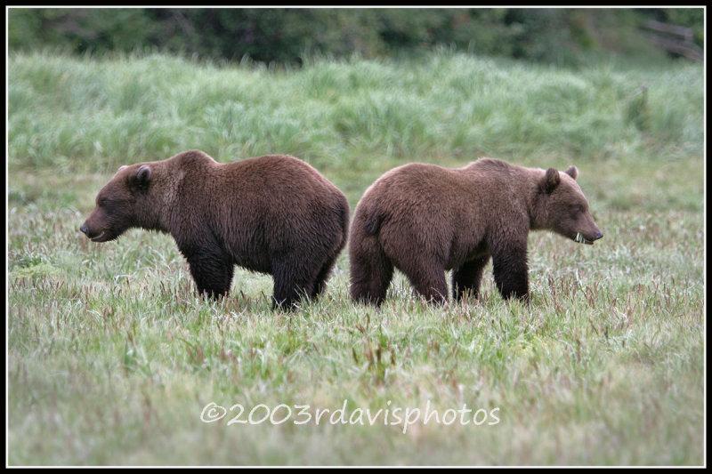 Alaska Brown Bear Cubs