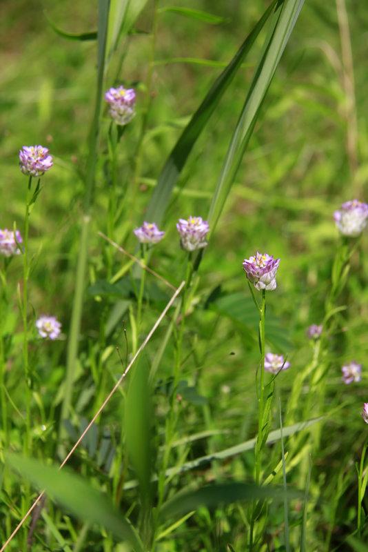 Polygala sanguinea- Purple Milkwort