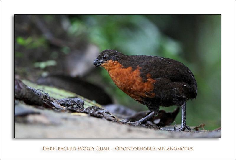 Dark-backed Wood Quail - Odontophorus melanonotus