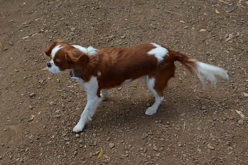 Brown & White Pup
