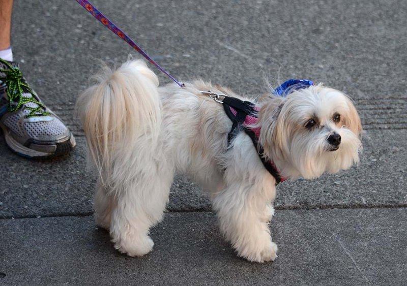 White Fluff Pup