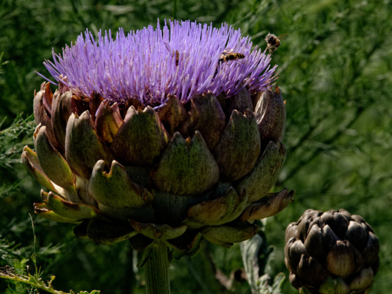hovering round the artichoke