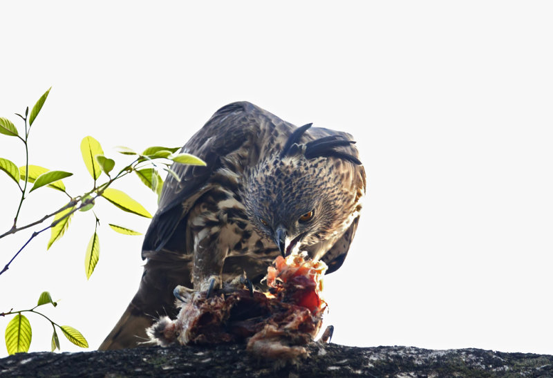 Crested Hawk Eagle CP4P3690.jpg