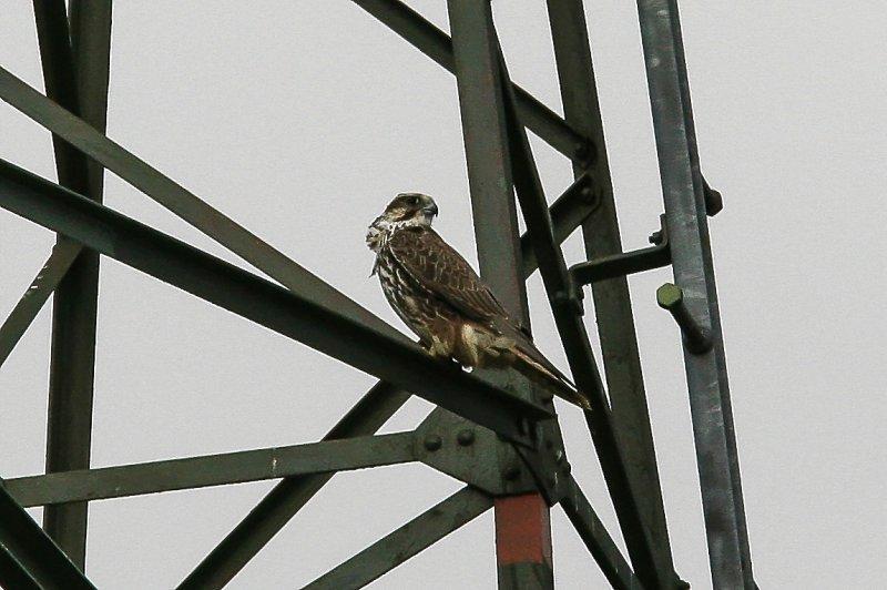 Würgfalke | Saker Falcon | Falco cherrug