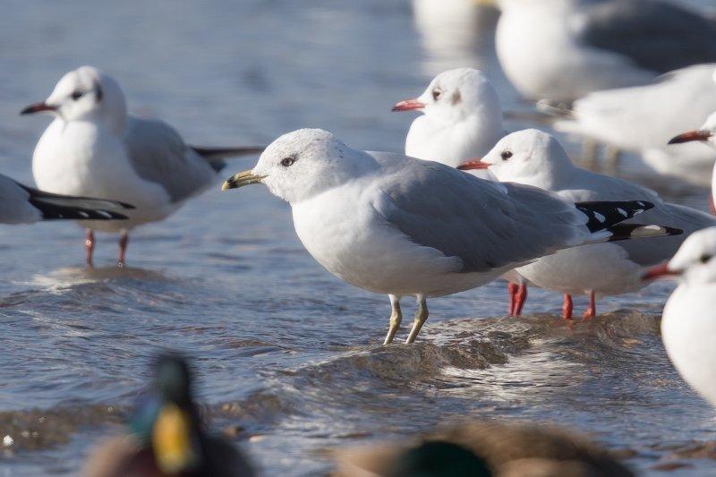 Ringschnabelmöwe | Ring-billed Gull | Larus delawarensis