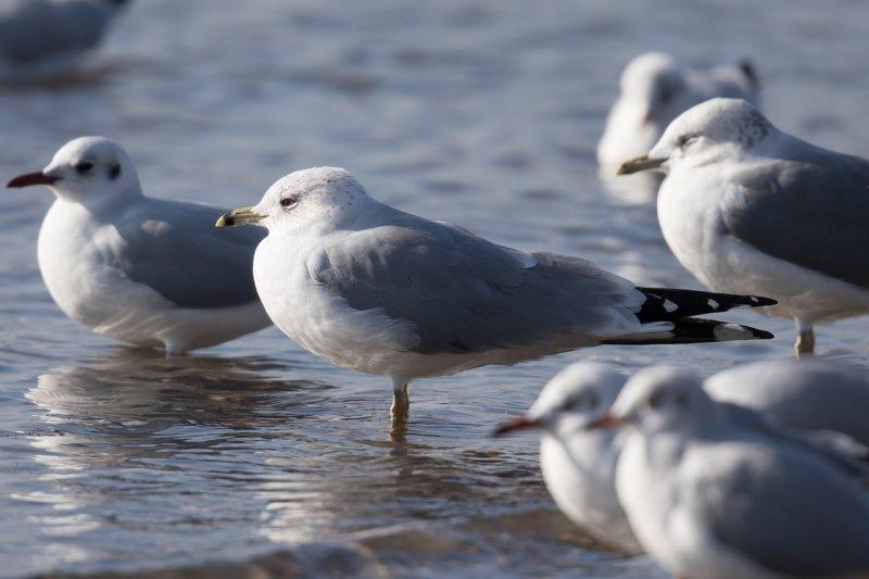 Ringschnabelmöwe   Ring-billed Gull   Larus delawarensis