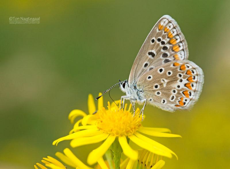 Icarusblauwtje - Common Blue - Polyommatus icarus