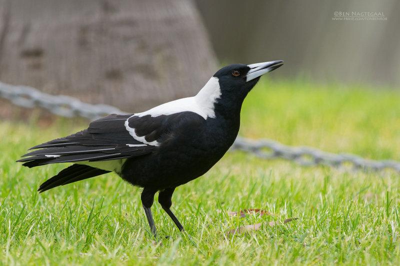 Zwartrugfluitvogel - Australian Magpie - Gymnorhina tibicen