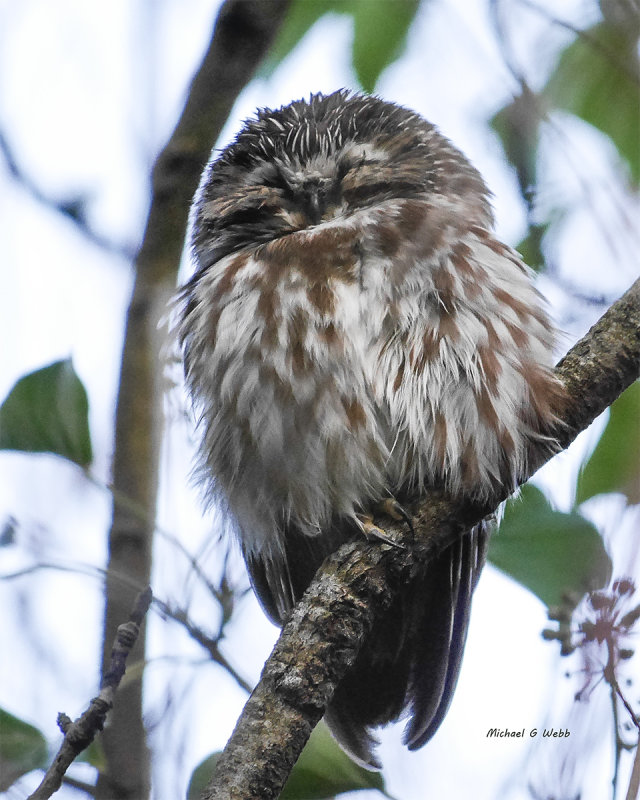 Content Saw-Whet Owl