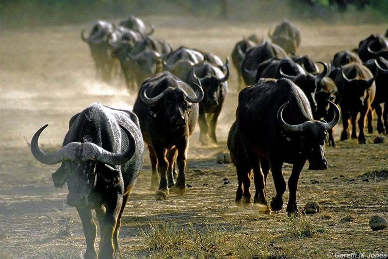 Buffalo, Samburu 020509