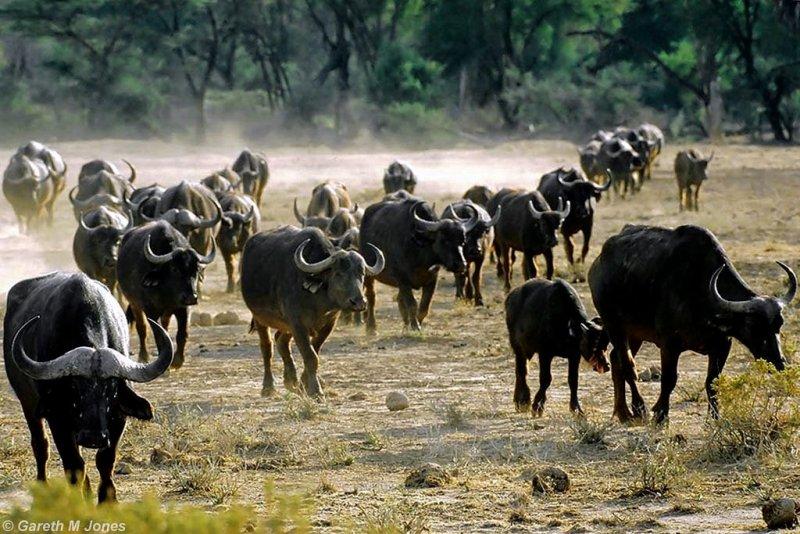 Buffalo, Samburu 020510