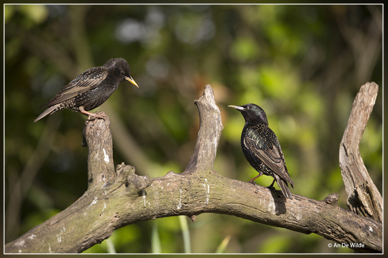 Spreeuw - Sturnus vulgaris