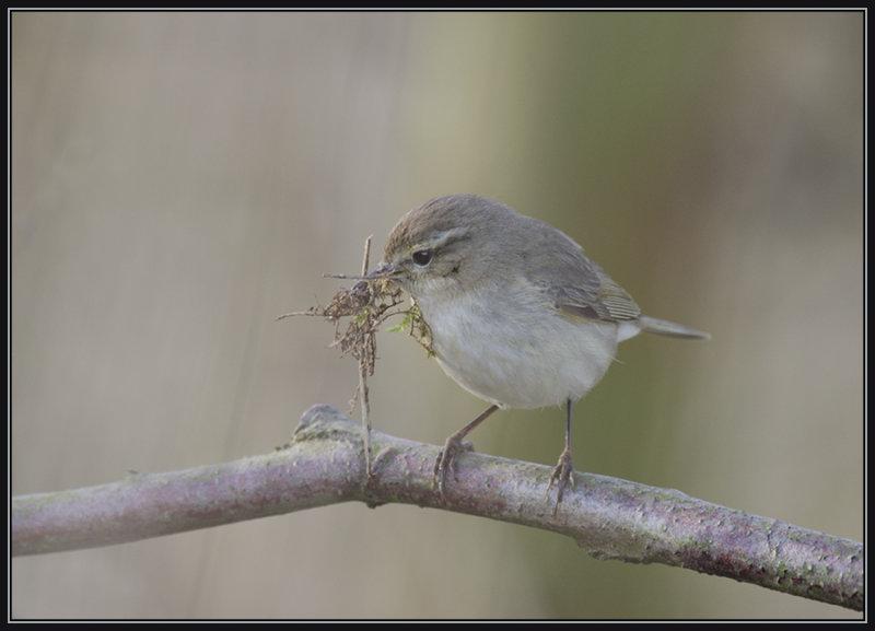 Fitis - Willow Warbler