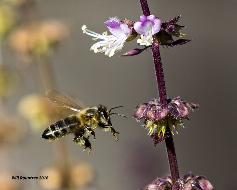 5F1A0393 Honey Bee.jpg