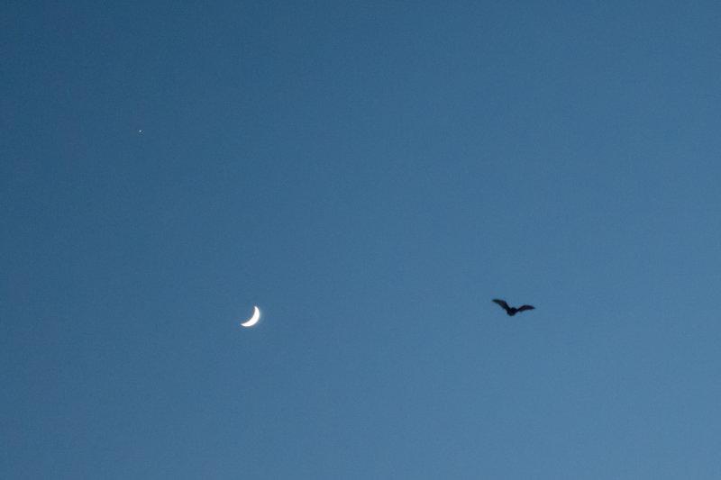 moon bat.jpg