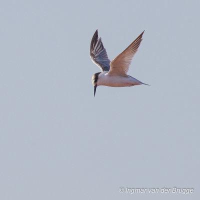 Saunderss Tern