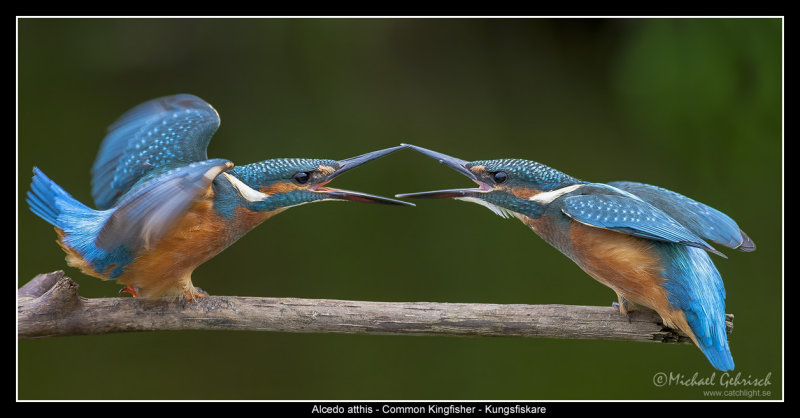 Kingfisher squabble over fishing rights