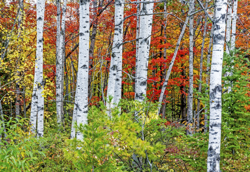 Birches, Peninsula State Park, Door County, WI