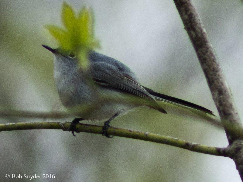Bluegray Gnatcatcher: hiding