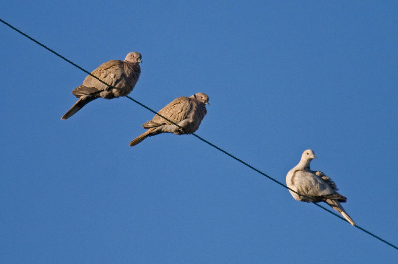 Pale variant Eurasian Collared-Dove